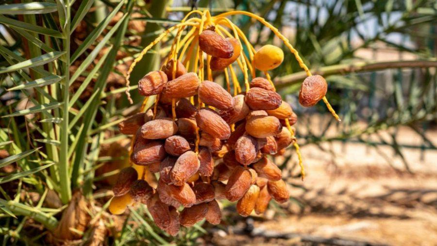 Dates growing on Hannah, a tree germinated from ancient seeds in Israel. Photo by Marcos Schonholz