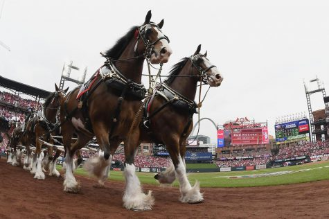Apr 5, 2019; St. Louis, MO, USA; The Budweiser Clydesdales runs around the warning track prior to the St. Louis Cardinals home opener against the San Diego Padres at Busch Stadium. (Jeff Curry-USA TODAY Sports)