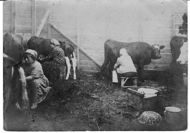 MAY 26: Fourth Aliyah pioneers milk cows at Emek Zevulun's Moshav Kfar Hasidim, founded by religious immigrants from Poland in April 1925.
