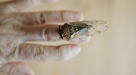Cicadas are edible. But are they kosher?