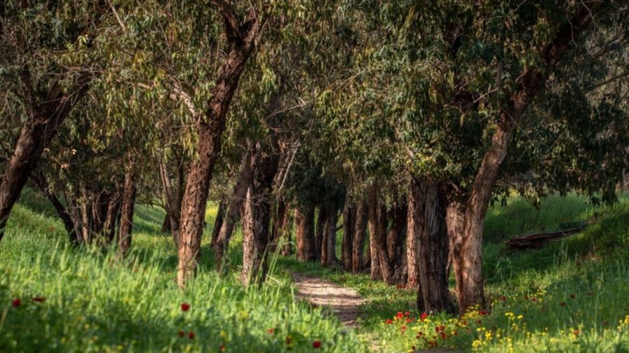 Worldwide 30% of trees are in danger of extinction. Not in Israel…